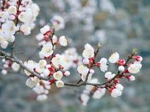 Ανθίσεις δέντρων βερικοκιών μια ημέρα άνοιξη Τα άσπρα λουλούδια διακλαδίζονται κανένα λιβάδι Στοκ εικόνες με δικαίωμα ελεύθερης χρήσης