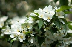 Ανθίσεις δέντρων της Apple Μακροεντολή just rained όμορφο bokeh Στοκ φωτογραφίες με δικαίωμα ελεύθερης χρήσης