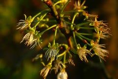 Ανθίσεις ενός δέντρου αχλαδιών στοκ εικόνα με δικαίωμα ελεύθερης χρήσης