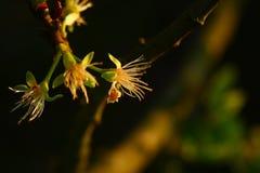 Ανθίσεις ενός δέντρου αχλαδιών στοκ εικόνα
