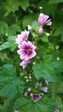 Ανθίσεις κήπων Στοκ φωτογραφία με δικαίωμα ελεύθερης χρήσης