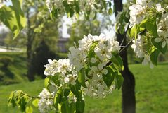 Ανθίσεις κλάδων δέντρων της Apple στο πάρκο πόλεων Στοκ φωτογραφία με δικαίωμα ελεύθερης χρήσης