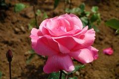 ανθίσεις λουλουδιών στο χώμα Στοκ Φωτογραφίες