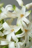 Ανθίσεις λουλουδιών Hyacinthus Στοκ φωτογραφία με δικαίωμα ελεύθερης χρήσης