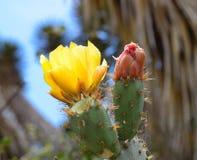 Ανθίσεις τραχιών αχλαδιών στο πάρκο BALBOA στο Σαν Ντιέγκο, Καλιφόρνια Στοκ εικόνα με δικαίωμα ελεύθερης χρήσης