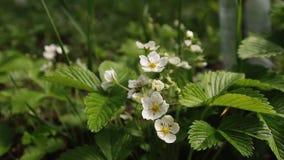 Ανθίσεις φραουλών στον κήπο Θάμνοι με τα άσπρα λουλούδια και τα κίτρινα μέσα, πράσινα φύλλα Άνθηση, οργανική απόθεμα βίντεο