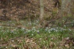 Ανθίσεις Anemone την άνοιξη, πεσμένα φύλλα οξιών Στοκ φωτογραφία με δικαίωμα ελεύθερης χρήσης