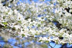 Ανθίσεις Dogwood - χρώματα στο υπόβαθρο φύσης - άσπρη ουσία Στοκ Φωτογραφία