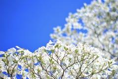 Ανθίσεις Dogwood - χρώματα στο υπόβαθρο φύσης - δέντρο της καθαρής ουσίας Στοκ Εικόνες