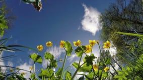 Ανθίσεις Globeflower (Trollius) σε έναν φωτεινό μπλε ουρανό απόθεμα βίντεο