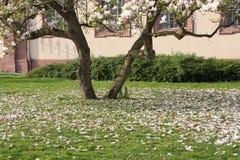 Ανθίσεις Magnolia στο έδαφος Στοκ εικόνες με δικαίωμα ελεύθερης χρήσης