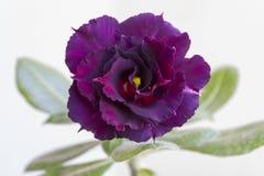 Ανθίσεις obesum adenium λουλουδιών στοκ εικόνα με δικαίωμα ελεύθερης χρήσης