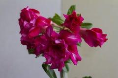 Ανθίσεις obesum adenium λουλουδιών στοκ εικόνες