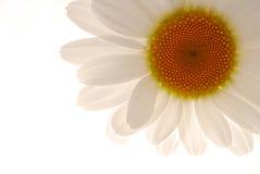 ανθίστε το λευκό Στοκ Φωτογραφία