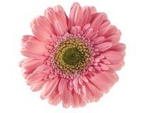 ανθίστε το ροζ Στοκ Εικόνες