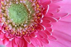 ανθίστε το ροζ gerbera Στοκ Εικόνες