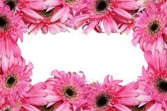ανθίστε το ροζ gerbera Στοκ φωτογραφίες με δικαίωμα ελεύθερης χρήσης