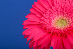 ανθίστε το ροζ gerbera Στοκ Φωτογραφίες
