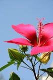 ανθίστε hibiscus Στοκ Εικόνα