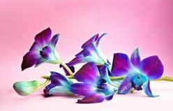 ανθίστε orchid Στοκ φωτογραφία με δικαίωμα ελεύθερης χρήσης