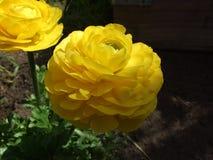 Ανθισμένα κίτρινα λουλούδια βατραχίων στον κήπο Στοκ εικόνα με δικαίωμα ελεύθερης χρήσης