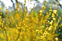 Ανθισμένο άγριο κίτρινο λουλούδι με το πλήρες θολωμένο υπόβαθρο στοκ φωτογραφία