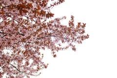Ανθισμένο δέντρο κερασιών Στοκ φωτογραφία με δικαίωμα ελεύθερης χρήσης