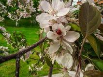 ανθισμένο δέντρο aple Στοκ Φωτογραφίες