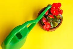 Ανθισμένο κόκκινο begonia Στοκ φωτογραφία με δικαίωμα ελεύθερης χρήσης