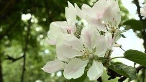 Ανθισμένο λουλούδι μήλων στο πάρκο Κλείστε αυξημένος Καθαρή και φωτεινή ημέρα φιλμ μικρού μήκους