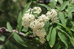 Ανθισμένο rowanberry δέντρο Στοκ Εικόνα