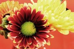 Ανθοδέσμη λουλουδιών στο πορτοκαλί υπόβαθρο Στοκ Εικόνες