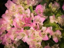 Ανθοδέσμη της άσπρης ρόδινης άνθισης λουλουδιών Bougainvillea Στοκ εικόνα με δικαίωμα ελεύθερης χρήσης