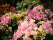 Ανθοδέσμη της άσπρης ρόδινης άνθισης λουλουδιών Bougainvillea Στοκ φωτογραφία με δικαίωμα ελεύθερης χρήσης