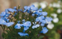 Ανθοδέσμη των ανθίζοντας λουλουδιών με το μπλε πέταλο στον κήπο _ Στοκ φωτογραφία με δικαίωμα ελεύθερης χρήσης