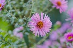 Ανθοδέσμη των ρόδινων λουλουδιών κήπων Στοκ Εικόνα