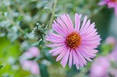 Ανθοδέσμη των ρόδινων λουλουδιών κήπων Στοκ Φωτογραφίες