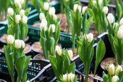 Ανθοδέσμη των τουλιπών Tulipa SSP Λ με το φως μέσω του παραθύρου Στοκ φωτογραφία με δικαίωμα ελεύθερης χρήσης