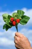 Ανθοδέσμη των φραουλών Στοκ Εικόνες