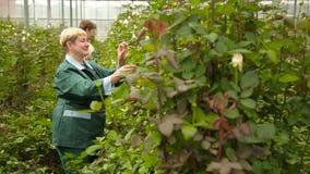 Ανθοκόμοι που εργάζονται στη φυτεία με τριανταφυλλιές απόθεμα βίντεο
