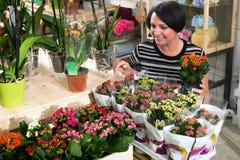 Ανθοκόμος γυναικών που καθορίζει ένα λουλούδι calandiva kalanchoe στοκ εικόνες