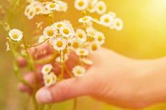 Ανθοδέσμη αφής χεριών γυναικών ` s camomile στο ηλιοβασίλεμα ή την ανατολή Αγροτική και φυσική έννοια, εναλλακτική ιατρική Στοκ φωτογραφία με δικαίωμα ελεύθερης χρήσης