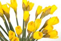 Ανθοδέσμη κινηματογραφήσεων σε πρώτο πλάνο του κίτρινου παραχωρήσώνταυ κρίνου (daffodil) που απομονώνεται στο λευκό Στοκ Φωτογραφία