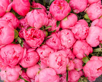 Ανθοδέσμη της άνθισης peonies Στοκ Φωτογραφίες