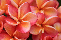 Ανθοδέσμη της μακροεντολής λουλουδιών plumeria Στοκ Εικόνες