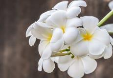 Ανθοδέσμη του άσπρου frangipani (plumeria) Στοκ Φωτογραφίες