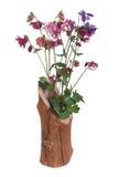 Ανθοδέσμη του ζωηρόχρωμου aquilegia στο ξύλινο βάζο που απομονώνεται Στοκ Φωτογραφίες