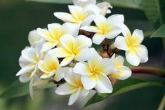 Ανθοδέσμη του κίτρινου λουλουδιού plumeria ή frangipani. Στοκ Φωτογραφία