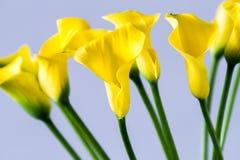 Ανθοδέσμη του κίτρινου calla κρίνου Στοκ Εικόνες