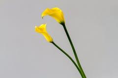 Ανθοδέσμη του κίτρινου calla κρίνου Στοκ Φωτογραφία